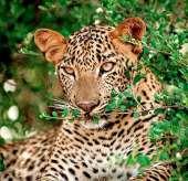 Wild-life Leopard-170-1