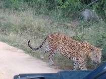 Leopard-1-210