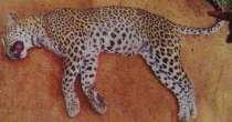 Leopard Yala-1-1-210