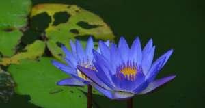 Blue Lotus-300